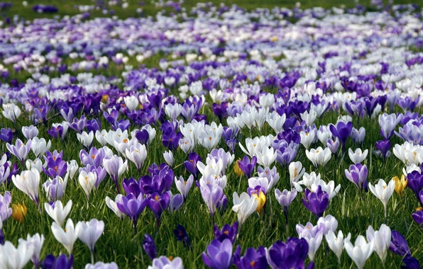 Picture flowers, nature, spring, crocuses