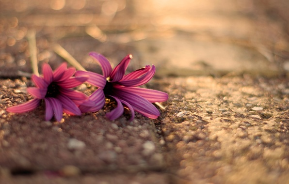 Picture flower, asphalt, macro, flowers, background, pink, widescreen, Wallpaper, blur, wallpaper, flowers, flower, widescreen, flowers, background, …
