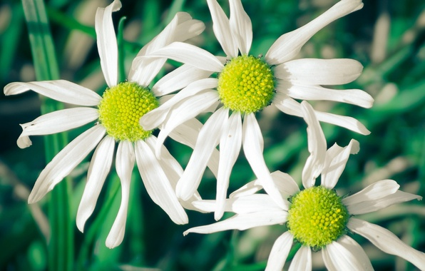 Picture white, flowers, green, background, widescreen, Wallpaper, chamomile, petals, wallpaper, flowers, widescreen, flowers, background, full screen, …