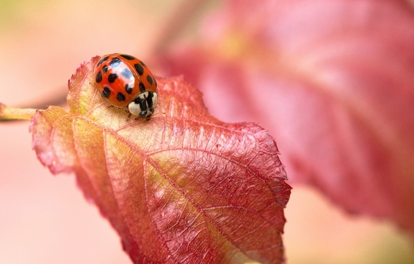 Picture red, sheet, ladybug, insect