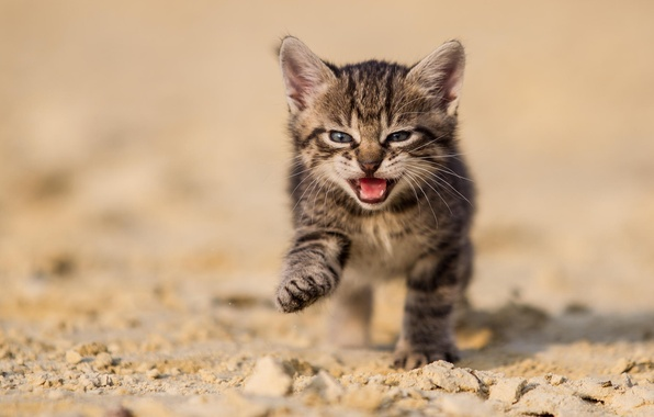 Picture sand, cat, nature, kitty, grey, earth