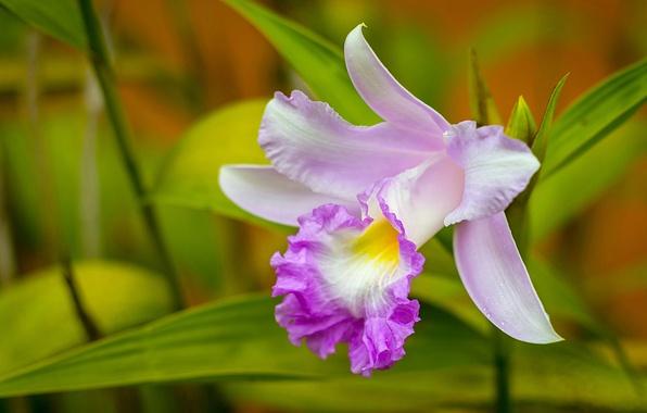 Picture macro, petals, Orchid, Cattleya