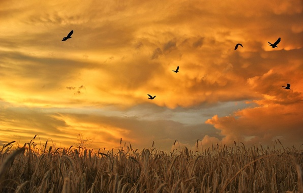 Picture The SKY, FIELD, CLOUDS, SUNSET, PACK, BIRDS, DAWN, SPIKELETS
