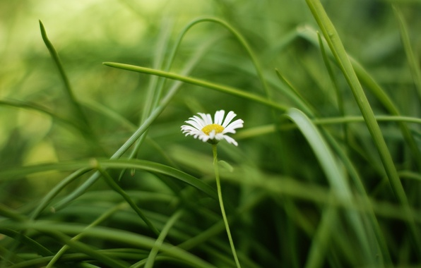 Picture greens, white, flower, grass, leaves, flowers, yellow, background, widescreen, Wallpaper, Daisy, wallpaper, widescreen, background, full …
