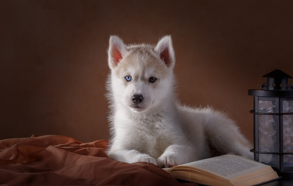 Picture eyes, lantern, puppy, book, husky