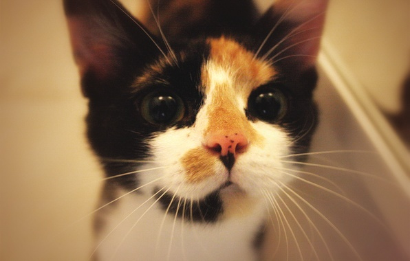 Picture animals, cats, muzzle, looks