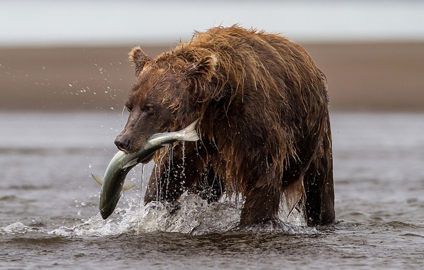 Picture river, fishing, fish, bear, catch, trout