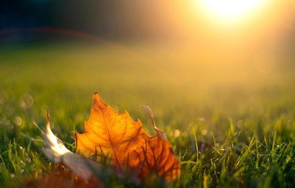 Picture autumn, grass, the sun, light, sunset, nature, sheet, the evening, maple