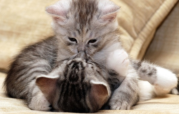 Picture the game, small, kittens, grey, beautiful