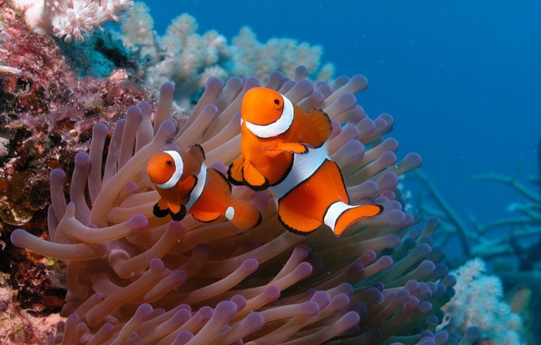 Picture fish, the ocean, two, the bottom, clown fish