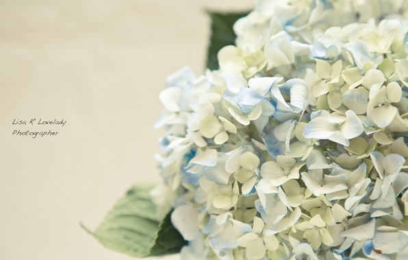 Picture flowers, tenderness, hydrangea