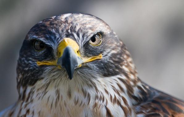 Picture bird, predator, beak, Falcon, looks