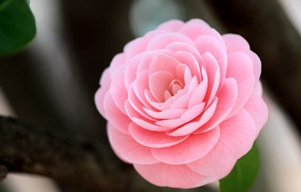 Picture flower, macro, pink, Camellia