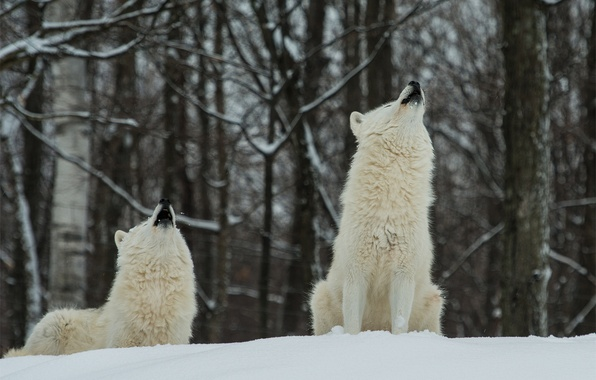 Picture winter, forest, snow, wolves, white, two, polar