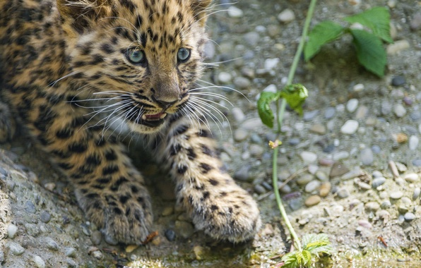 Picture cat, look, stones, leopard, cub, kitty, Amur, ©Tambako The Jaguar