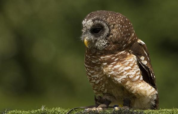 Picture owl, bird, moss, profile