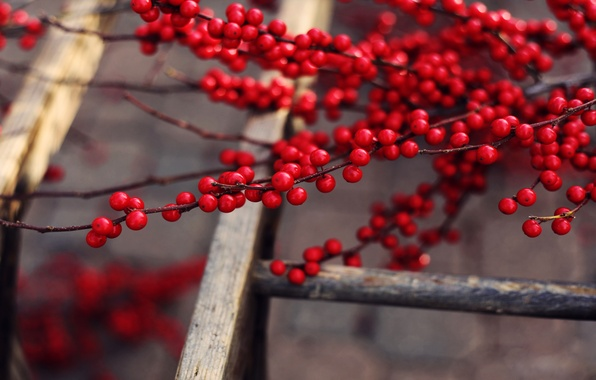 Picture branches, berries, tree, up, fruit, ladder, red, delicious, ripe