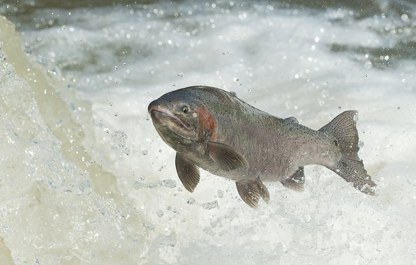 Picture water, fish, RAINBOW TROUT