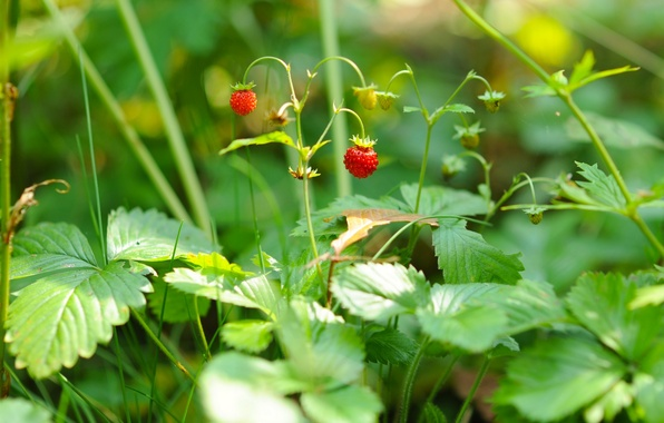 Picture macro, berries, strawberries