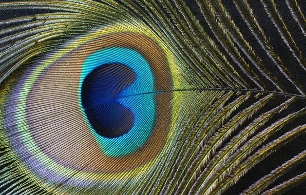 Picture color, pen, peacock