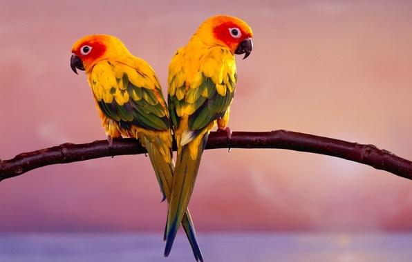 Picture birds, branch, parrots