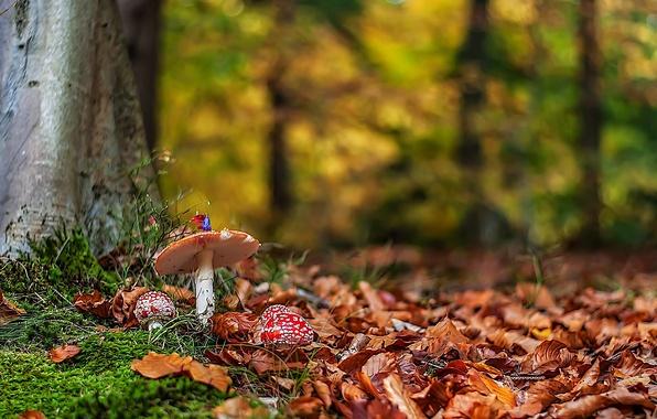 Picture autumn, forest, leaves, nature, mushrooms, Amanita