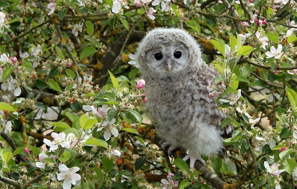 Picture branches, tree, owl, bird, Apple, flowering, chick, flowers, owlet