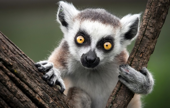 Picture nature, monkey, Ring-Tailed Lemur