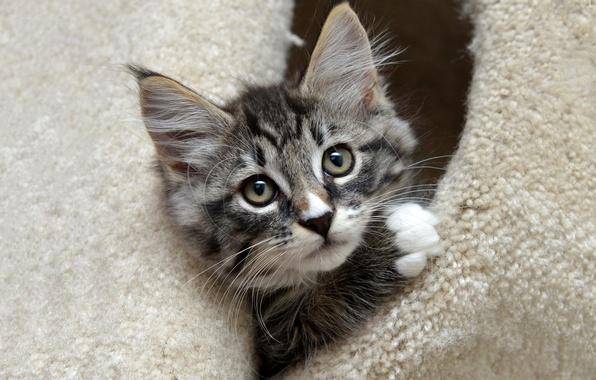 Picture cat, kitty, grey, portrait, muzzle, cute, fur, house, striped, Peeps, St.