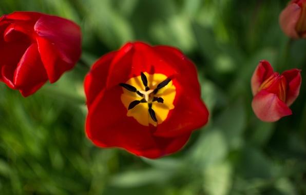 Picture macro, petals, tulips, buds, bokeh