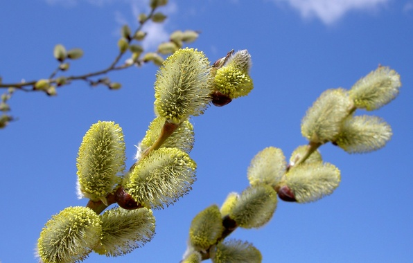 Picture flower, the sky, nature, branch, spring, Verba