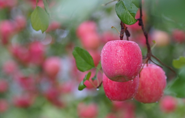 Picture leaves, apples, branch, fruit, after the rain, pink, water drops