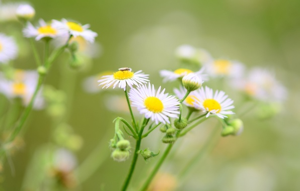 Picture flowers, green, background, widescreen, Wallpaper, chamomile, blur, Daisy, insect, wallpaper, flowers, flower, widescreen, flowers, background, …