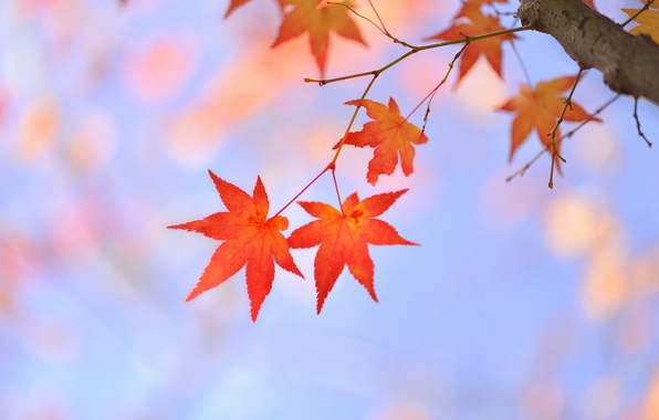 Picture leaves, tree, branch, red, maple, Japanese