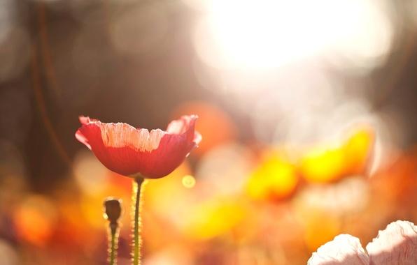 Picture field, flower, the sun, macro, light, flowers, red, nature, Mac, bokeh