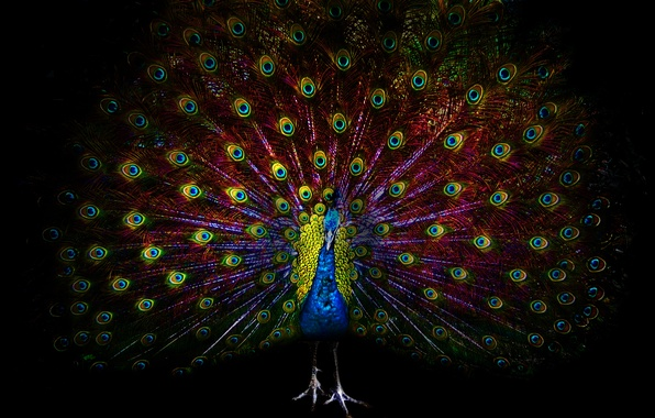 Picture eyes, darkness, bird, feathers, peacock