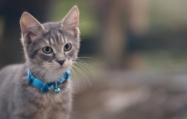 Photo wallpaper cat, collar, kitty, grey, cat