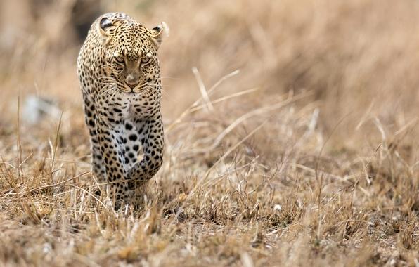 Picture cat, predator, leopard, Savannah, Africa