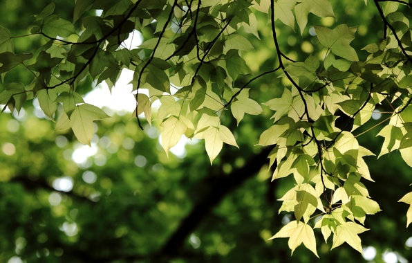 Picture greens, leaves, branches, Branch, bokeh
