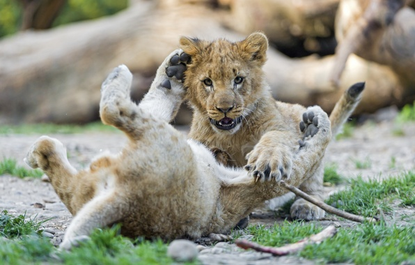 Picture cat, grass, the game, cub, kitty, the cubs, lion, ©Tambako The Jaguar