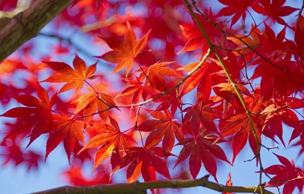 Picture autumn, leaves, macro, tree, maple