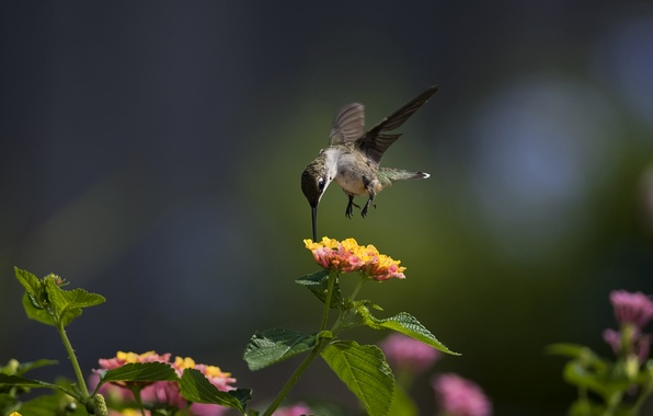 Picture macro, flowers, bird, Hummingbird, Sunny