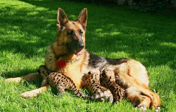 Picture dog, kittens, Puma, shepherd, motherhood, feeding, young Cougars