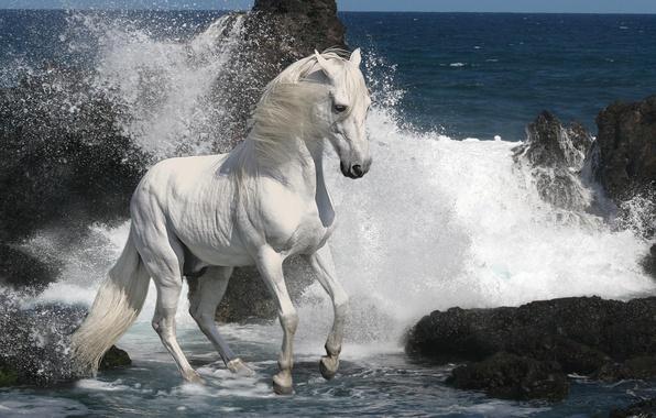Picture sea, wave, white, foam, stones, grey, rocks, stallion, Horse, mane, hooves, horse