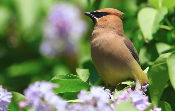 Picture flowers, nature, bird, Bush, spring, serene, the Waxwing
