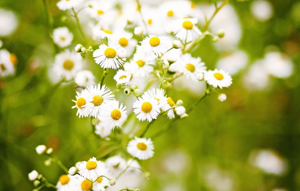 Picture grass, flowers, nature, green, background, chamomile, Leentje photography