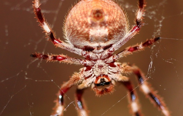 Picture web, spider, hairs