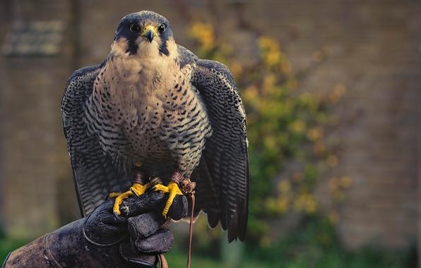 Picture bird, predator, Falcon, glove, hunter