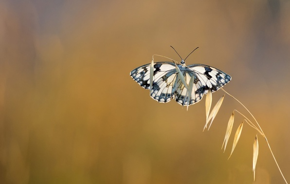 Picture background, butterfly, a blade of grass