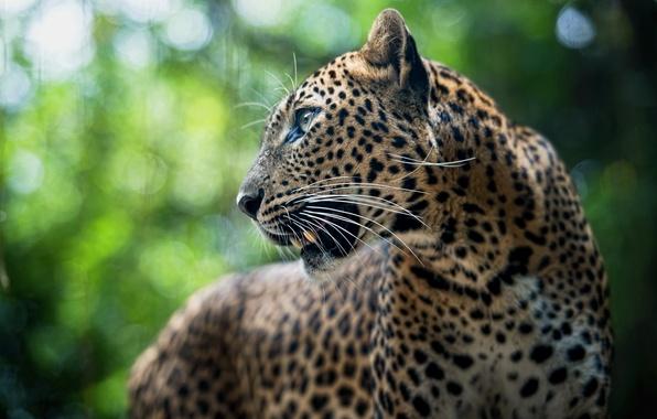 Picture animal, predator, leopard, Leopard, panthera pardus